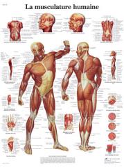 poster-musculature