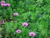 fleurs-a-Brehat