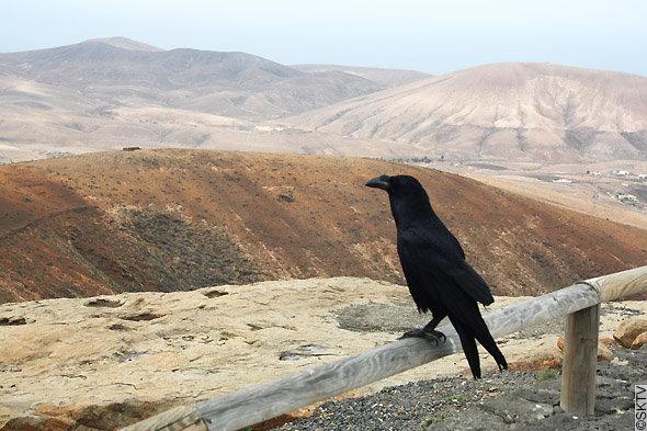 Photo d'un corbeau au Parc rural de Betancuria